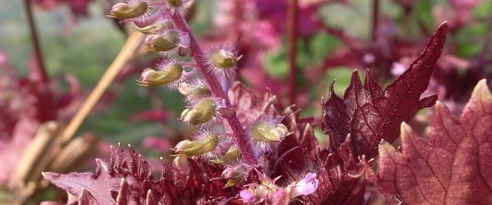 赤紫蘇 lalala-farm