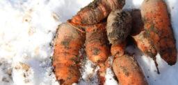 人参 – carrot