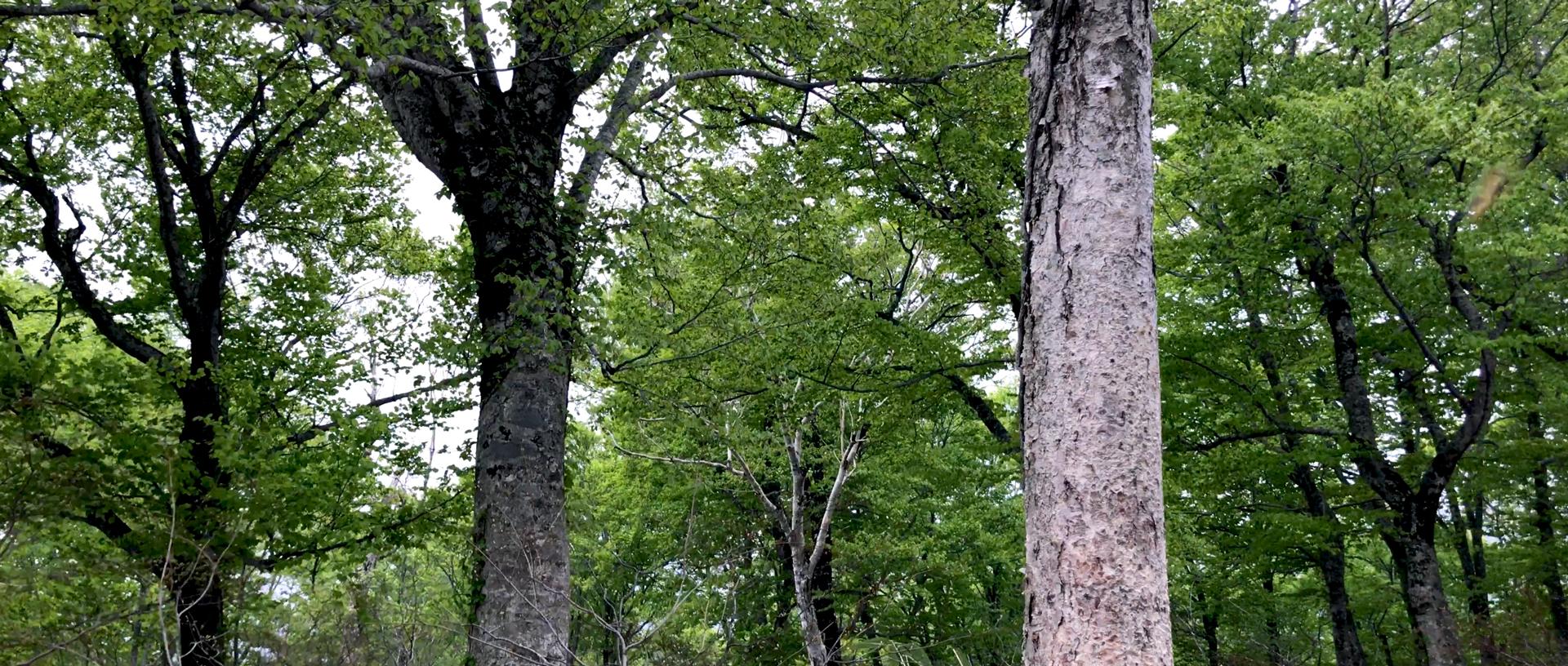 島牧村のブナの原生林